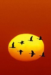 geese_formation